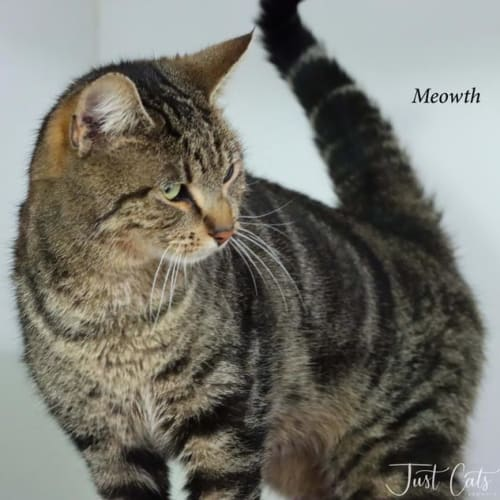 Meowth - Domestic Short Hair Cat
