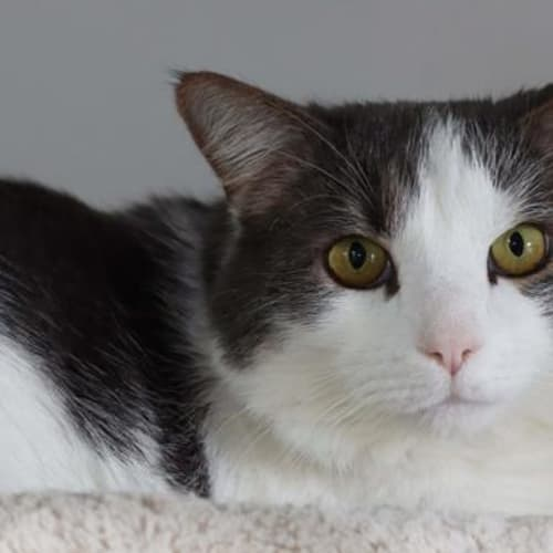 Sparkles - Domestic Short Hair Cat