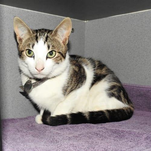 Turtle - Domestic Short Hair Cat