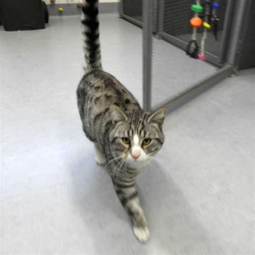 Hendrix - Domestic Short Hair Cat