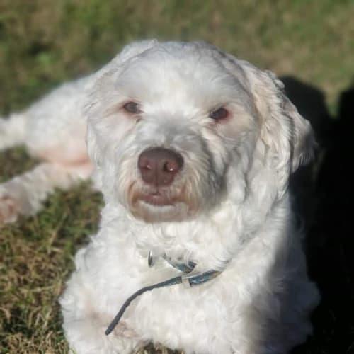 Lollie 💓 - Jack Russell Terrier x Maltese Dog