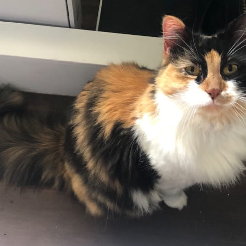 Henrietta - Domestic Long Hair Cat