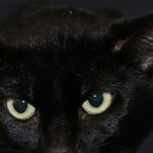 Bagheera - Domestic Short Hair Cat