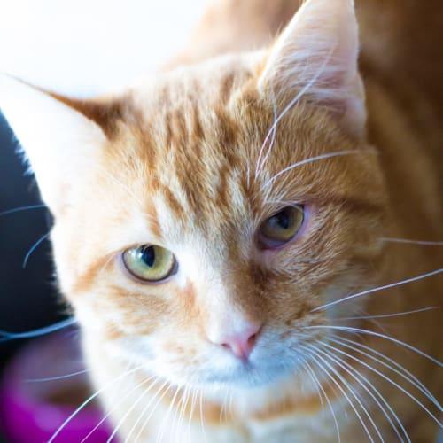 Axl - Domestic Short Hair Cat