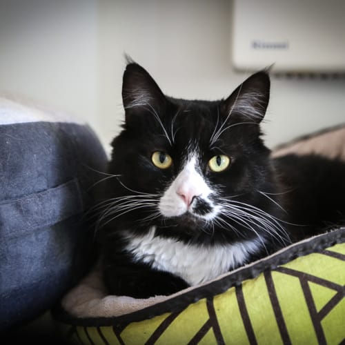 Yeezy (Located in Clayton South) - Domestic Long Hair Cat