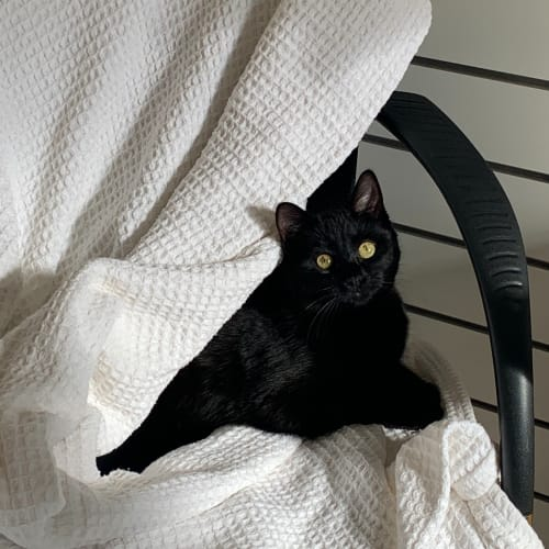 Ted - Domestic Short Hair Cat