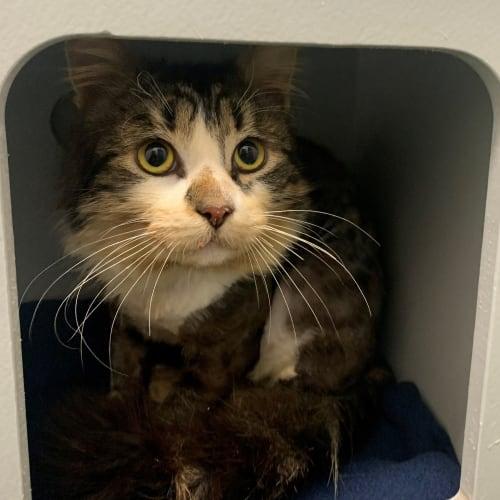 Harry - Domestic Medium Hair Cat