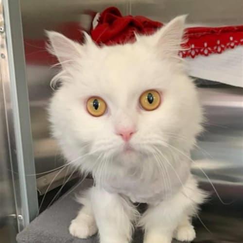 Washington - Ragdoll x Domestic Longhair Cat