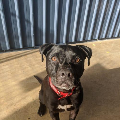 Sampson - American Staffordshire Terrier Dog