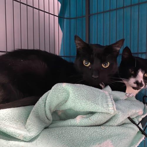 Loki & Earl - Domestic Short Hair Cat