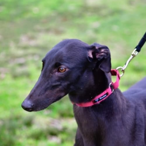 Lexi - Greyhound Dog