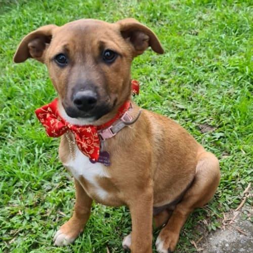 1664. Yoda - Staffordshire Bull Terrier x Mixed Breed Dog