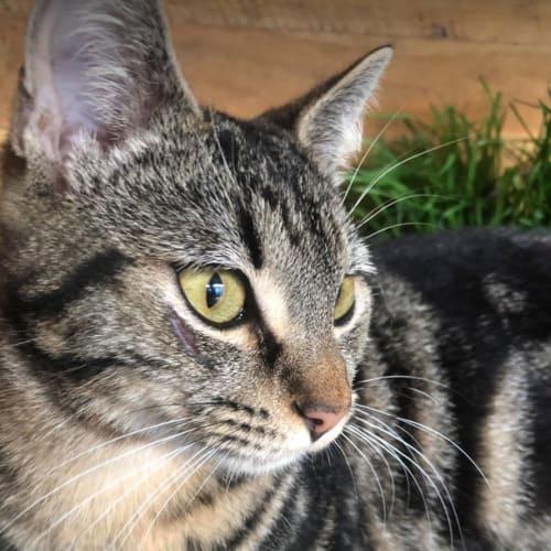 Kallum - Domestic Short Hair Cat