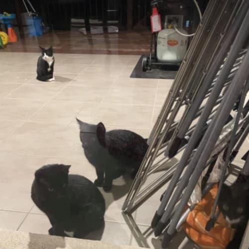 Daisy, Goofy, Mickey & Minnie  - Domestic Short Hair Cat