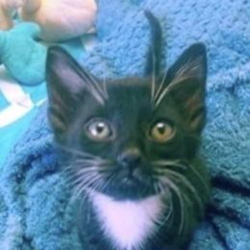 Kohl - Domestic Short Hair Cat