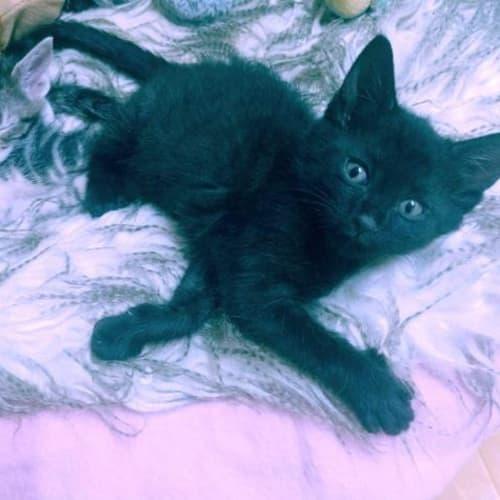 Nardia - Domestic Short Hair Cat