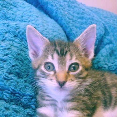Shiso - Domestic Short Hair Cat