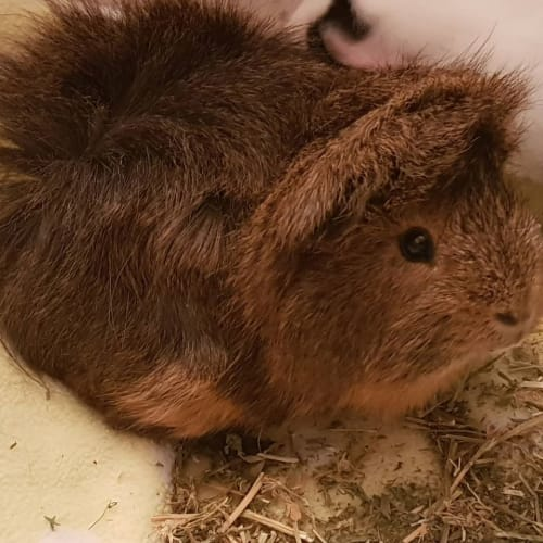Martin (Buddy of Minty) -  Guinea Pig