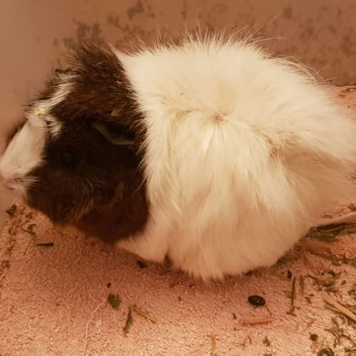 Whisper (Mum and Buddy of Angel) - Abyssinian Guinea Pig