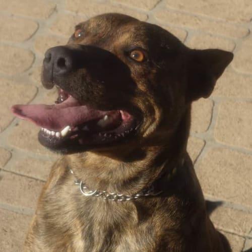 August - Staffy Dog
