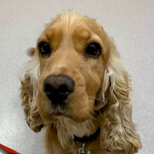 Mocha - Cocker Spaniel, English Dog