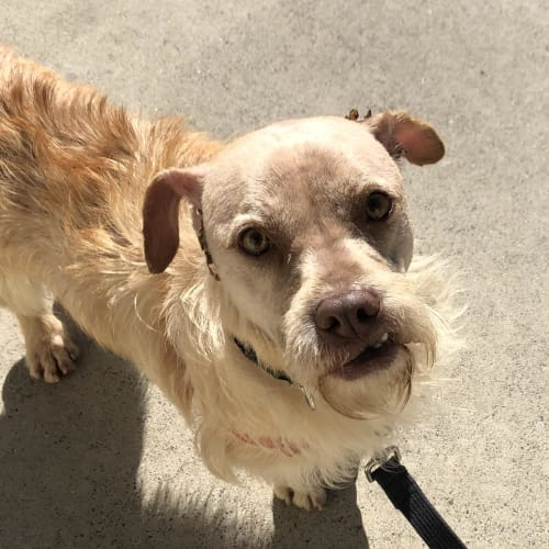 Chuck - Border Terrier Dog