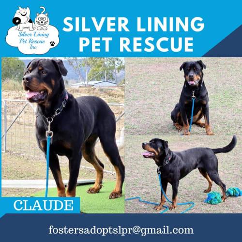Claude  - Rottweiler Dog