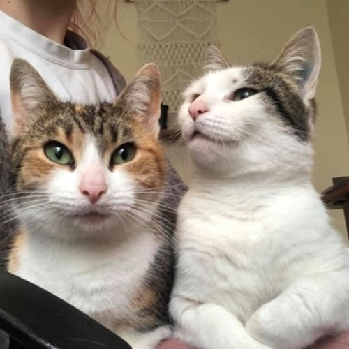 Lady And Zelda - Mother Daughter Duo! - Domestic Short Hair Cat