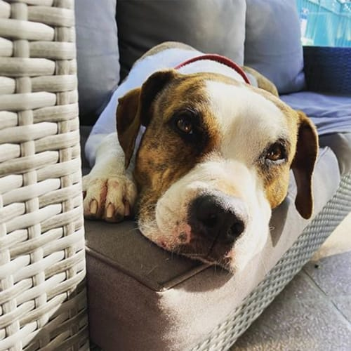 Cinnamon - American Staffordshire Terrier Dog