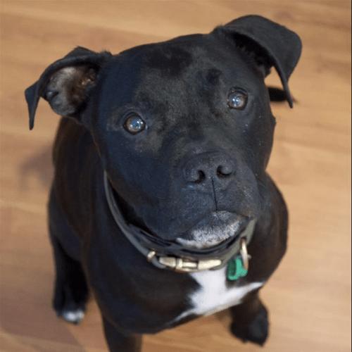 Olaf - Staffy Dog