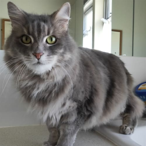 Ricky - Domestic Medium Hair Cat