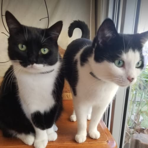Oreo, Rose & Scarlett - Domestic Short Hair Cat