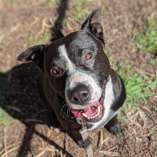 Molly - American Staffy Dog