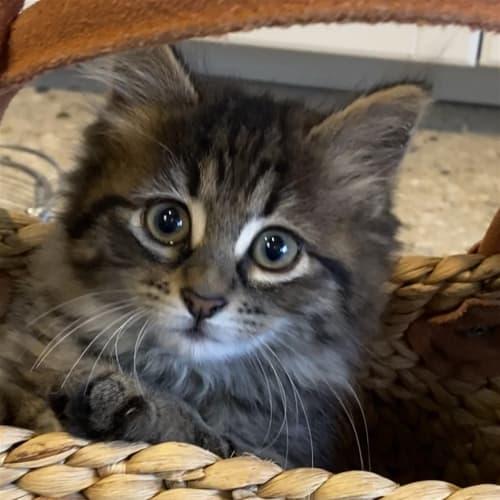 Amour - Domestic Medium Hair Cat