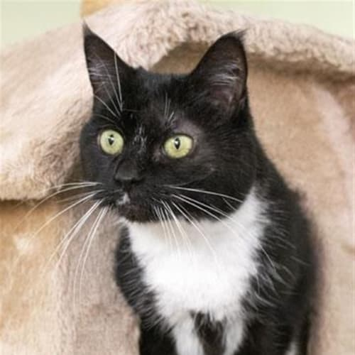 Henri - Domestic Short Hair Cat