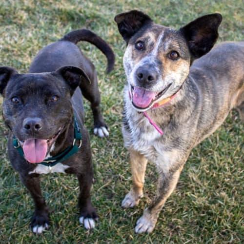 Dozer - Staffordshire Bull Terrier Dog