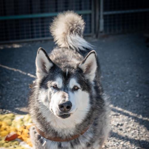 Diesel - Alaskan Malamute Dog
