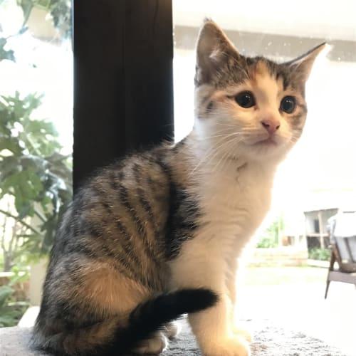 Bri - Domestic Short Hair Cat