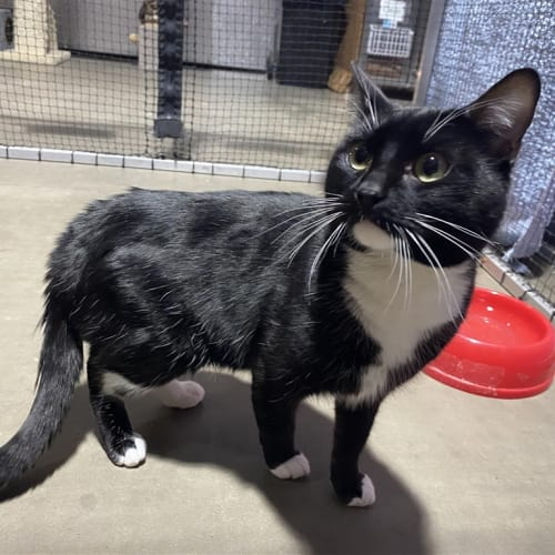 Kip - Domestic Short Hair Cat