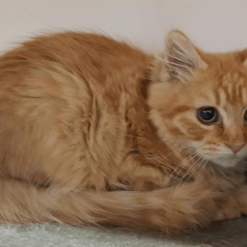 Ralphy - Domestic Medium Hair Cat