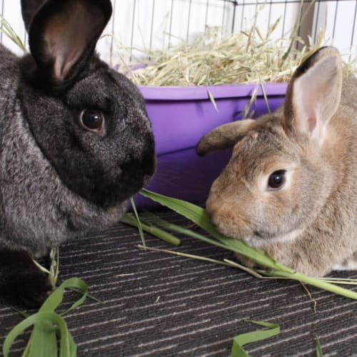 Teddy & Ben - Domestic Rabbit