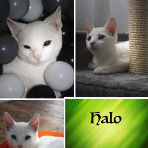 Halo - Domestic Short Hair Cat