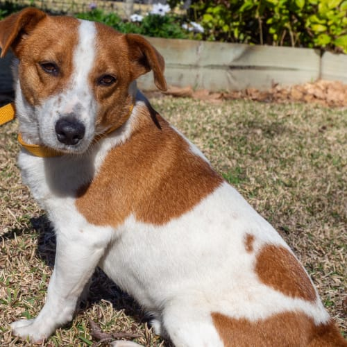 Captain - Jack Russell Terrier Dog