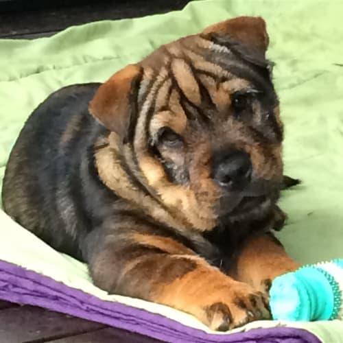 Buzz - Sharpei x Australian Terrier Dog