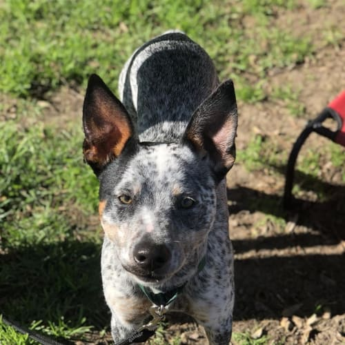 Tiny - Koolie x Heeler Dog