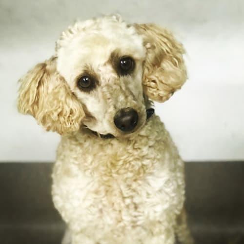 Zarzy  - Poodle Dog