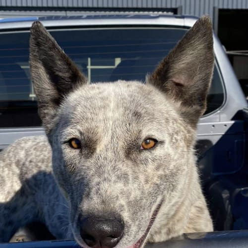 Polar ~ 2yo Cattle Dog x Shepherd  - Cattle Dog x Deer Hound x Mastiff x German Shepherd Dog