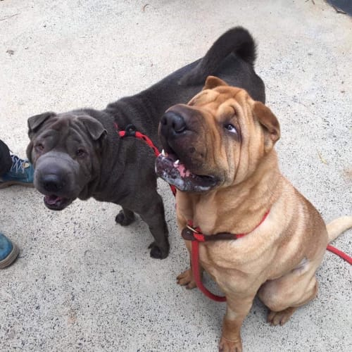 Pablo and Penny - Shar-Pei Dog