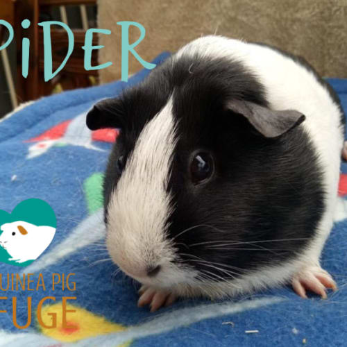 Spider - Smooth Hair Guinea Pig