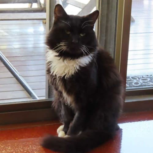 Blacky - Domestic Medium Hair Cat